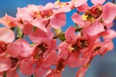 Ρόδινα λουλούδια Angelonia Στοκ εικόνα με δικαίωμα ελεύθερης χρήσης