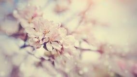Ρόδινα λουλούδια Apple-δέντρων Στοκ φωτογραφία με δικαίωμα ελεύθερης χρήσης