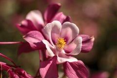 Ρόδινα λουλούδια Aquilegia αποκαλούμενα Columbine Στοκ Εικόνες