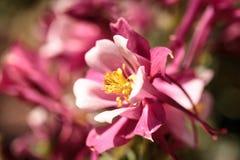 Ρόδινα λουλούδια Aquilegia αποκαλούμενα Columbine Στοκ φωτογραφία με δικαίωμα ελεύθερης χρήσης
