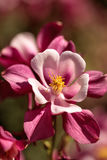 Ρόδινα λουλούδια Aquilegia αποκαλούμενα Columbine Στοκ εικόνα με δικαίωμα ελεύθερης χρήσης