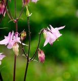 Ρόδινα λουλούδια - Aquilegia Στοκ Εικόνα