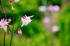 Ρόδινα λουλούδια - Aquilegia Στοκ Φωτογραφίες