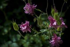 Ρόδινα λουλούδια Aquilegia Στοκ φωτογραφία με δικαίωμα ελεύθερης χρήσης