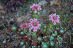 Ρόδινα λουλούδια arachnoideum Sempervivum Στοκ φωτογραφίες με δικαίωμα ελεύθερης χρήσης