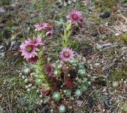 Ρόδινα λουλούδια arachnoideum Sempervivum Στοκ Φωτογραφία