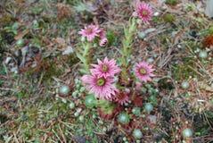 Ρόδινα λουλούδια arachnoideum Sempervivum Στοκ Εικόνα