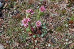 Ρόδινα λουλούδια arachnoideum Sempervivum Στοκ Εικόνες