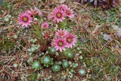 Ρόδινα λουλούδια arachnoideum Sempervivum Στοκ φωτογραφία με δικαίωμα ελεύθερης χρήσης
