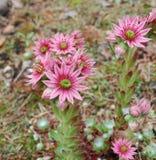 Ρόδινα λουλούδια arachnoideum Sempervivum Στοκ εικόνες με δικαίωμα ελεύθερης χρήσης