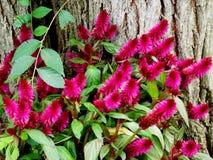 Ρόδινα λουλούδια Bottlebrush Στοκ Εικόνες