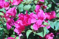 Ρόδινα λουλούδια bougainvillea στα ζωηρά χρώματα υποβάθρου Στοκ Εικόνες