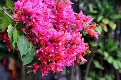 Ρόδινα λουλούδια bougainvillea Στοκ Φωτογραφία