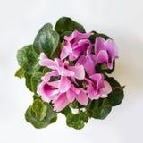 Ρόδινα λουλούδια Cyclamen με τα πράσινα φύλλα Στοκ Φωτογραφίες