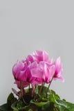 Ρόδινα λουλούδια Cyclamen Στοκ εικόνες με δικαίωμα ελεύθερης χρήσης