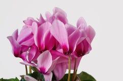 Ρόδινα λουλούδια Cyclamen Στοκ Εικόνα
