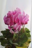 Ρόδινα λουλούδια Cyclamen Στοκ Εικόνες