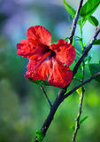 Ρόδινα λουλούδια frangipani στο μουτζουρωμένο πράσινο υπόβαθρο Στοκ Εικόνες