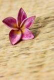 Ρόδινα λουλούδια frangipani Στοκ εικόνα με δικαίωμα ελεύθερης χρήσης