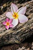 Ρόδινα λουλούδια frangipani Στοκ Φωτογραφίες