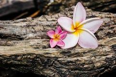 Ρόδινα λουλούδια frangipani Στοκ φωτογραφίες με δικαίωμα ελεύθερης χρήσης