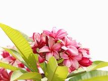 Ρόδινα λουλούδια frangipani Στοκ φωτογραφία με δικαίωμα ελεύθερης χρήσης