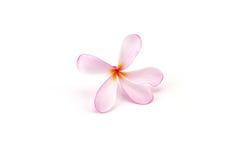 Ρόδινα λουλούδια frangipani (Plumeria SSP, Apocynaceae, δέντρο παγοδών Στοκ Εικόνες