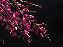 Ρόδινα λουλούδια Genista στο μαύρο υπόβαθρο Στοκ Εικόνες