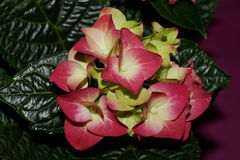 Ρόδινα λουλούδια hydrangea, hortensias Στοκ Εικόνες