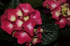 Ρόδινα λουλούδια hydrangea, hortensias Στοκ φωτογραφία με δικαίωμα ελεύθερης χρήσης