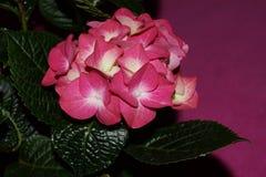 Ρόδινα λουλούδια hydrangea, hortensias Στοκ εικόνα με δικαίωμα ελεύθερης χρήσης