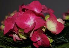 Ρόδινα λουλούδια hydrangea, hortensias Στοκ εικόνες με δικαίωμα ελεύθερης χρήσης