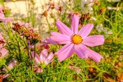 Ρόδινα λουλούδια Kosmeya Στοκ φωτογραφίες με δικαίωμα ελεύθερης χρήσης