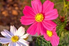 Ρόδινα λουλούδια Kosmeya Στοκ εικόνα με δικαίωμα ελεύθερης χρήσης