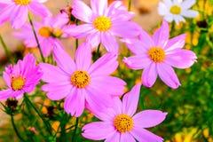Ρόδινα λουλούδια Kosmeya Στοκ φωτογραφία με δικαίωμα ελεύθερης χρήσης
