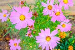 Ρόδινα λουλούδια Kosmeya Στοκ Φωτογραφίες