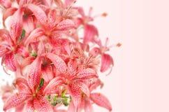 Ρόδινα λουλούδια Lilia στοκ φωτογραφίες