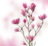Ρόδινα λουλούδια magnolia που απομονώνονται στοκ φωτογραφίες