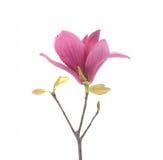 Ρόδινα λουλούδια magnolia που απομονώνονται στοκ εικόνα με δικαίωμα ελεύθερης χρήσης