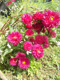 Ρόδινα λουλούδια mum στο υπόβαθρο χλόης στοκ φωτογραφία με δικαίωμα ελεύθερης χρήσης