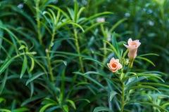 Ρόδινα λουλούδια Oleander Στοκ Φωτογραφίες