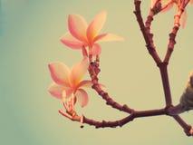 Ρόδινα λουλούδια Plumeria ή Frangipani Στοκ Φωτογραφίες
