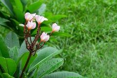 Ρόδινα λουλούδια plumeria στο πράσινο υπόβαθρο χλόης Στοκ εικόνα με δικαίωμα ελεύθερης χρήσης