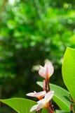 Ρόδινα λουλούδια plumeria στο πράσινο υπόβαθρο χλόης Στοκ Φωτογραφίες