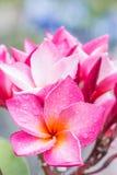 Ρόδινα λουλούδια plumeria (frangipani) Στοκ Φωτογραφία
