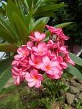 Ρόδινα λουλούδια Plumeria, frangipani στοκ εικόνα