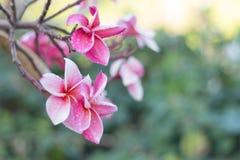 Ρόδινα λουλούδια plumeria (plumeria) Στοκ Φωτογραφία