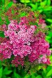 Ρόδινα λουλούδια spiraea Στοκ φωτογραφίες με δικαίωμα ελεύθερης χρήσης