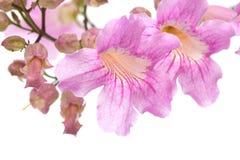 Ρόδινα λουλούδια tekoma Στοκ εικόνα με δικαίωμα ελεύθερης χρήσης