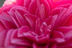 Ρόδινα πέταλα λουλουδιών καμελιών Στοκ Φωτογραφίες